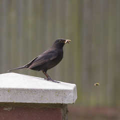 blackbird and bugs (Jill Sawyer Phypers) Tags: feeding juvenile blackbird hertfordshire gardenbirds