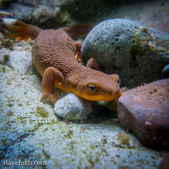 Rough-skinned newt (Taricha granulosa) - underwater in a rocky stream pool (DaveHuth) Tags: oregon creek forest stream underwater amphibian salamander animalia roughskinnewt amphibia taricha chordata caudata roughskinnednewt salamandridae tarichagranulosa taxonomy:class=amphibia taxonomy:kingdom=animalia taxonomy:phylum=chordata taxonomy:order=caudata opalcreekwilderness taxonomy:family=salamandridae taxonomy:binomial=tarichagranulosa taxonomy:genus=taricha taxonomy:species=granulosa taxonomy:common=roughskinnednewt northernroughskinnewt taxonomy:common=roughskinnewt taxonomy:common=northernroughskinnewt