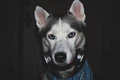 (Siberian Forest Photography) Tags: dogs husky sage siberianhusky