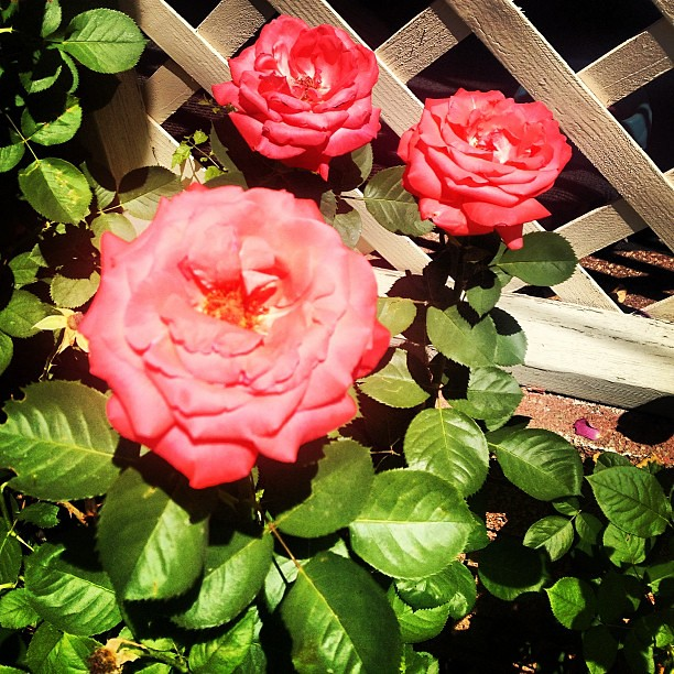 Despite the heat, Im still trying to make #roses happen. #summer #colorado #plants