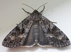 Kihalane. Eurois occulta (Jaan Keinaste) Tags: fauna estonia pentax moth eesti k7 liblikas euroisocculta greatbrocade stortskogsfly pentaxk7 kihalane