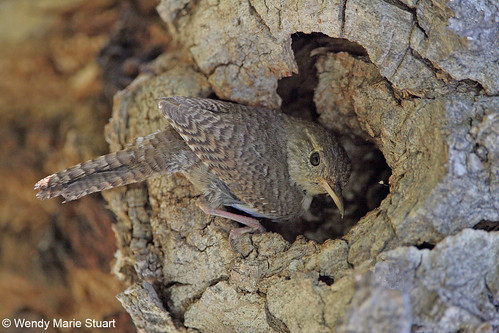 Photo - Wendy Marie Stuart PhotographyA house wren sits outside a small hole in the knot of a dead tree, presumably its cavity nest.