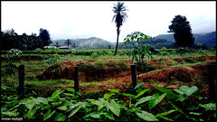 awesome malenadu (mohan mukesh) Tags: india tree leaf rubber karnataka lanscape aldur malenadu chikamagalur balehonnur
