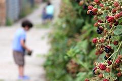 10th August - harvest day (*superhoop*) Tags: thea eli blackberry bokeh megan lane blackberries blackberrying hpad hpad2013 hpad100813
