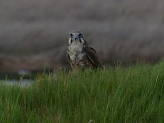 Brown Falcon (Rodger1943) Tags: lumix raptors australianbirds brownfalcon panasonicfzseries westerntreatmentplant fz200 panasoniclumixaustralia