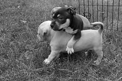 Puppies (AlexRuz) Tags: puppies foster pittbull adoption pitty babydogs spayneuter helpsaveadog bellasbullybuddies