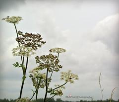 veldbloemen (MiChaH) Tags: flowers sky lucht bloemen fietstocht werkendam onkruid wildflowerd veldbloemen