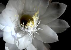 A Queen of the Night (love_child_kyoto) Tags: flower nature night wonderful kyoto  botanicalgarden dutchmanspipe  dutchmanspipecactus welikeit masterphotos aqueenofthenight artisticflowers takenwithlove artonflickr  eoxypetalum unitedworldphotographers mindigtopponalwaysontop lovelyflickr  thegoldenachievement goldenachievement dreamlikephotos takenwithhardwork taknwithhardwork lovelynewflickr   pandaonflickr