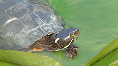 """Content Painted Turtle • <a style=""""font-size:0.8em;"""" href=""""http://www.flickr.com/photos/77994446@N03/9639653893/"""" target=""""_blank"""">View on Flickr</a>"""