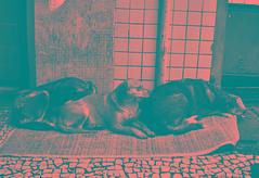 Quentinhos (De Santis) Tags: street camera brazil pet white black dogs animal branco brasil canon square downtown candid sãopaulo centro preto sp cachorro cães praça rua cachorros animais escondida s100 7deabril conselheirocrispiniano fernandodesantis