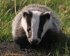 HELP ME ! Please Listen To The Speech on Youtube Or Read The Extract Below : ) (Dan Belton ( No Badger Cull )) Tags: dan mammal cub spring native leicestershire may badger brock speech 2010 belton melesmeles nocull englandsoldestlandowners legallyprotectedanimal