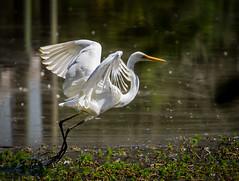 Great Egret (marzipanpig) Tags: bird water pond wildlife sydney australia egret greategret wetland australianbird flyingbird warriewoodwetlands flyingegret