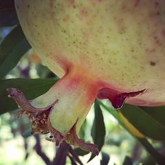 #Pomegranate #Blood #انار #خون #بزن (pezHman tt) Tags: blood pomegranate انار خون بزن