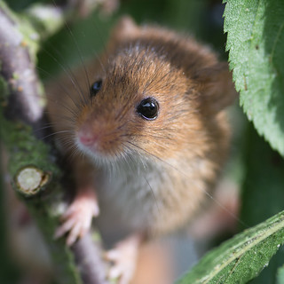 Harvest Mouse [Explored]