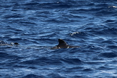 Flickr: Short-finned Pilot Whale - Madeira, Portugal