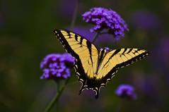 Yellow Butterfly on Purple Flower (bobrizz1) Tags: butterfly ngc 1001nights soe autofocus greatphotographers abigfave vividstriking 1001nightsmagiccity mygearandme mygearandmepremium blinkagain flickrstruereflection1 flickrstruereflection2 flickrstruereflection3