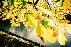Yellow (jukkarothlauronen) Tags: autumn leaves göteborg leaf sweden gothenburg sverige