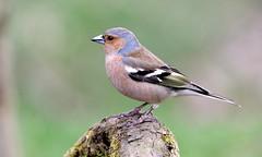 cannock chase 2 4 2014 064 (pippa sutt) Tags: bird nikon wildlife staffordshire chaffinch nikon300mmf28 nikond600 cannockchase242014