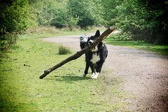 Toby: ...and another stick! (gary8345) Tags: dog bordercollie 2014