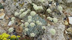 Eriogonum ovalifolium var. nivale 100_0806 (sierrarainshadow) Tags: eriogonum var ovalifolium nivale