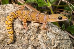 Oedura coggeri, Mount Molloy-7406 (Henry.Cook) Tags: reptile australia velvet lizard queensland gecko northern mountmolloy oeduracoggeri coggers henrycook d800e nikond800e