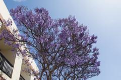 Bleu (sosivov) Tags: flowers blue trees flower lagomera vallegranrey
