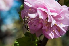DSC_2242 (jbmnt) Tags: flowers macro 50mm nikon pentacon feri d3200 kolvek