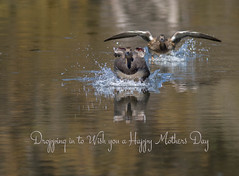Happy Mothers Day (www.JudyLindoPhotography.com) Tags: photography duck quote irvingtx judylindophotography hogbottoms