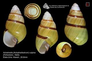 achatinella (achatinellastrum) vulpina4 hawai 20mm8