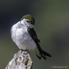 Violet-green Swallow (Bob Gunderson) Tags: california birds northerncalifornia southbay swallows birdwatcher santaclaracounty ranchosanantonio violetgreenswallow tachycinetathalassina canoneos7dmarkii
