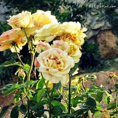 الورود رمز المحبه و التسامح. #المزرعة #الاردن #زرع #ورد #اصفر #الحب #التسامح   Flowers are symbol of love and forgiveness. #farm #jorden #plant #flowers #yellow #love #forgivness (Esra Ben Jassem) Tags: flowers plant love yellow farm jorden ورد الحب المزرعة forgivness اصفر زرع الاردن التسامح