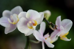 Orchids (shutterbug_65) Tags: flowers