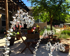 Chalk Dudleya (tmvissers) Tags: garden chalk backyard sandiego sancarlos dudleya pulverulenta