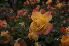 20160809_portland_0048 (fred.carter) Tags: northamerica usa flora flowerbud flowers fredcarter garden overcast plant rosebud roses travel travelling vacation weather