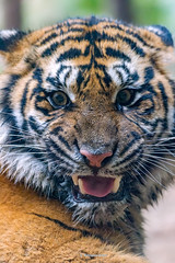Mimi   - Whe She Gets Mad (Harimau Kayu (AKA Sumatra-Tiger)) Tags: mimi dream sumatrantiger bigcat feline animal mammal carnivore predator beast beauty charm charming lovely cute gorgeous beautiful vigor femaletiger zoo zoorasia yokohamazoo yokohama kanagawa japan mimpi