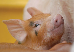 cheerful piglet. (skorpy_) Tags: animal closeup piglet sly crafty snout young pig piggy suck pork smell content meal cute family food bacon agriculture farm pink oink russianfederation