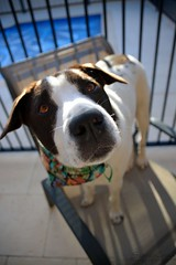 DSC_0314-1 (ScootaCoota Photography) Tags: dog pet animal border coliie labrador mutt rescue adopt dont shop outdoors