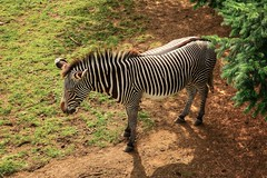 What's black and white and eats like a horse? (diminji (Chris)) Tags: animals wildlife nature scotland lovescotland edinburgh edinburghzoo grevys zebra hdr hdrtoning grevyszebra