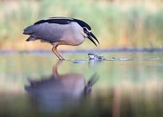 La pche fabuleuse (Emmanuelle2Aime2Ailes) Tags: oiseau bihoreaugris pche poisson