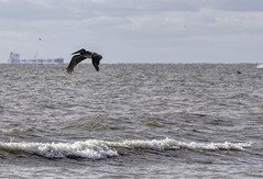 Just Cruisin' (Scott Sanford) Tags: nature naturallight outdoor wildlife animals birds beach shore gulfofmexico bolivar pelican feeding waves sand clouds sky sunlight canon eos ef100400mmf4556lisiiusm 6d flying