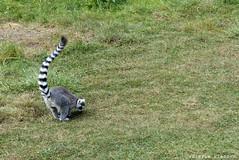 P1060255 (LaBonVampire) Tags: lemur animals nature leica leicalenses lumix