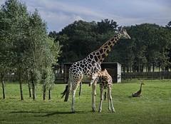 Giraffes (khalid almasoud) Tags: 1650mm sony ilce5100 sonya5100  wildlife nature london woburn safari park unitedkingdom england 2016 september clouds   photographyrocks