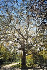 Tree of life (b90atx) Tags: cismigiupark cismigiu birch mesteacan copac backlit autumn fall bucharest park stock