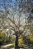 Tree of life (B90ATX) Tags: cismigiupark cismigiu birch mesteacan copac backlit autumn fall bucharest park stock bucuresti