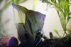 #10 - Pez. (Viki Stefchova Petkova) Tags: pez pecera nadar agua algas