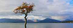 Millarochy tree (Gtarman1401) Tags: lochlomond millarochy tree autumn panorama mountains october