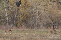 October 23, 2016 - A Bald Eagle flies over deer in Longmont. (Tony's Takes)