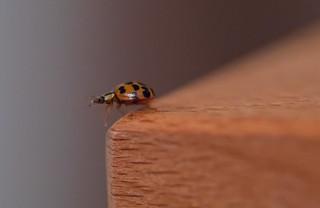 Käfer auf der Kante