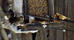 Sloppy Sparrows (~nevikk~) Tags: birds windowshot neighborsyard birdfeeder southwindowsnowbirdsetc11192016