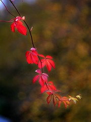 Autumn Leaves Are Falling Down (Michelle O'Connell Photography) Tags: glasgow glasgowbotanicgardens tree autumntree autumnseason autumncolours redleaves leaves autumnred fall autumn2016 michelleoconnellphotography